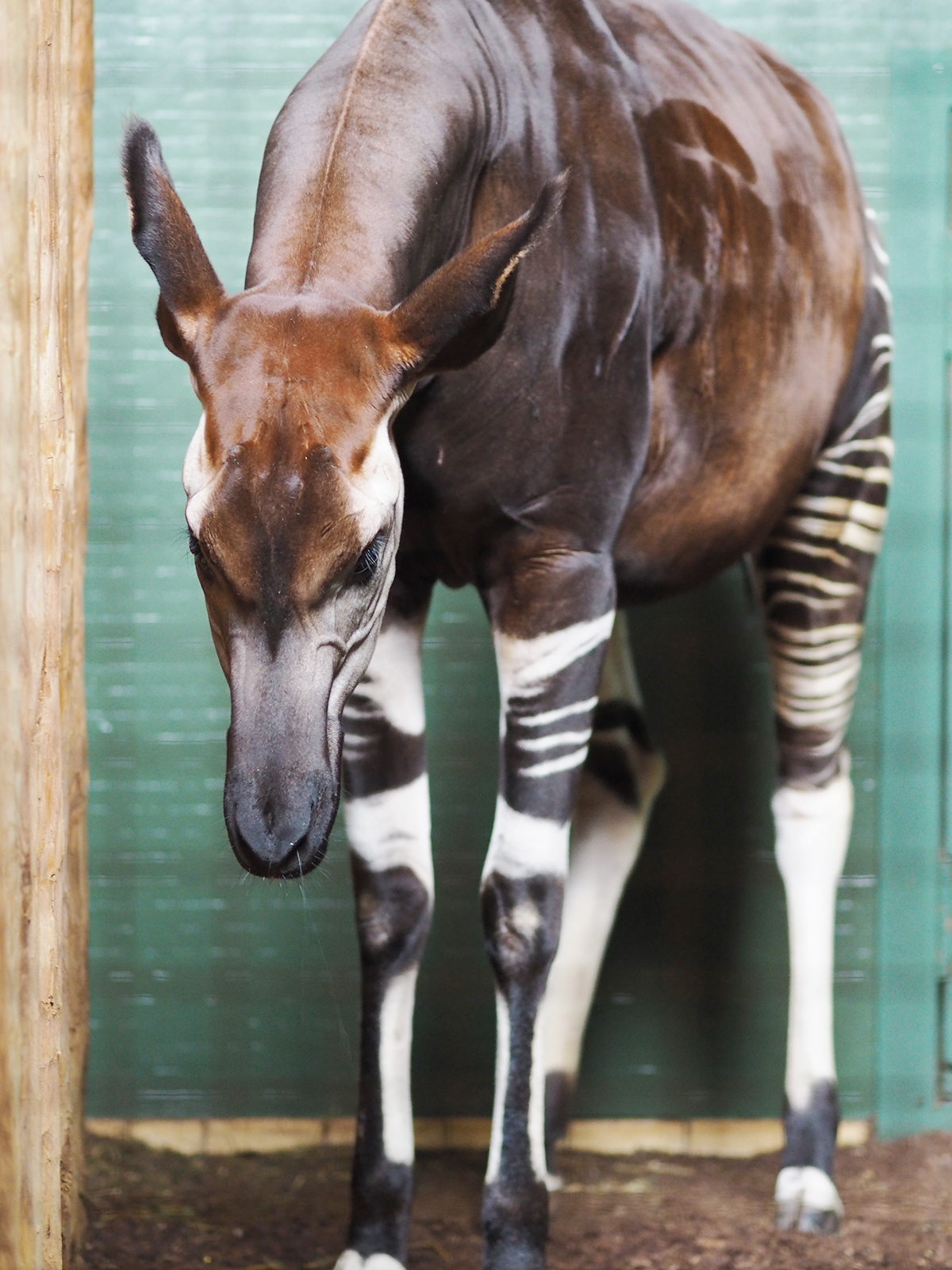ZSL london zoo okapi