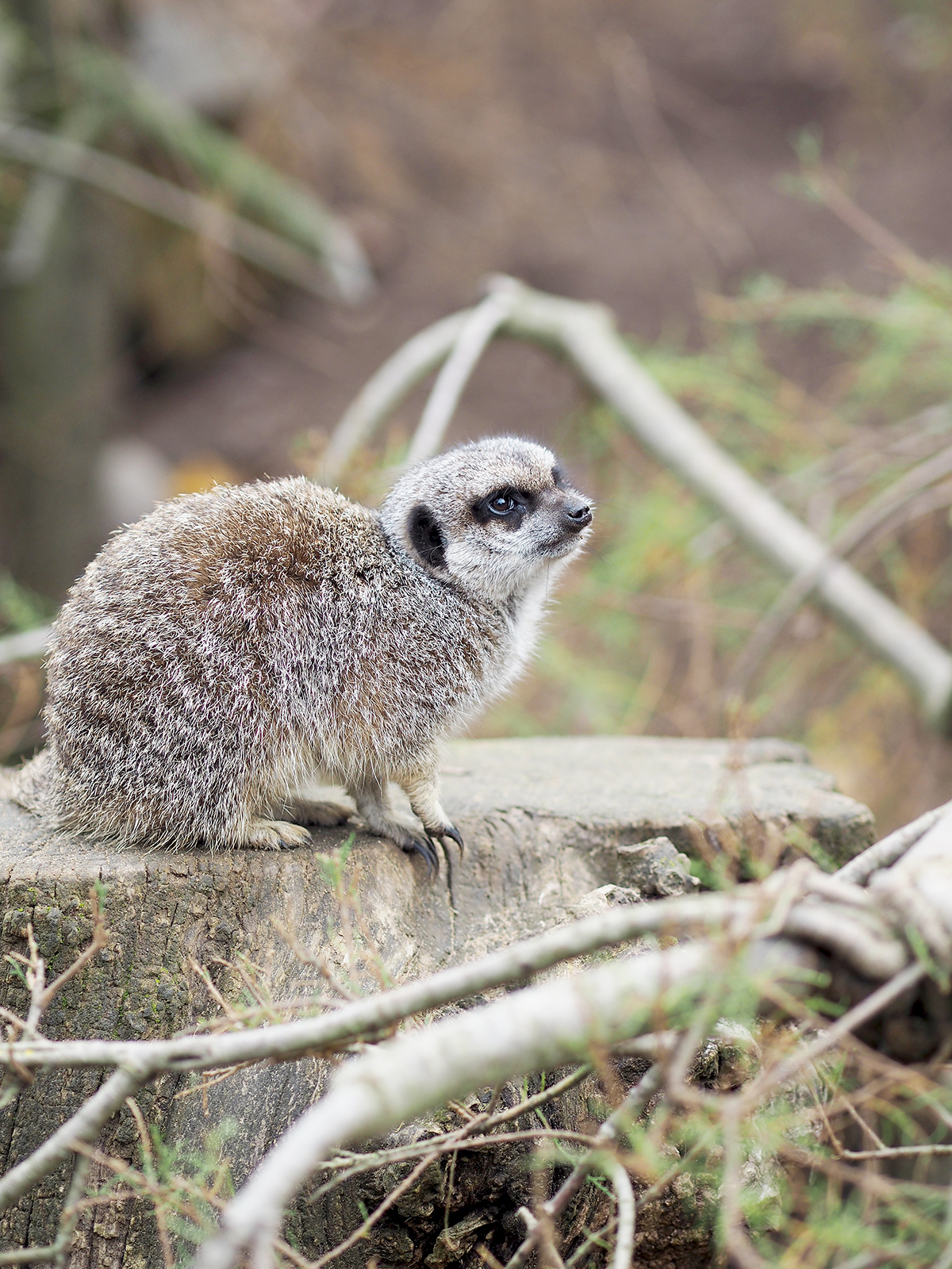 ZSL london zoo meerkat