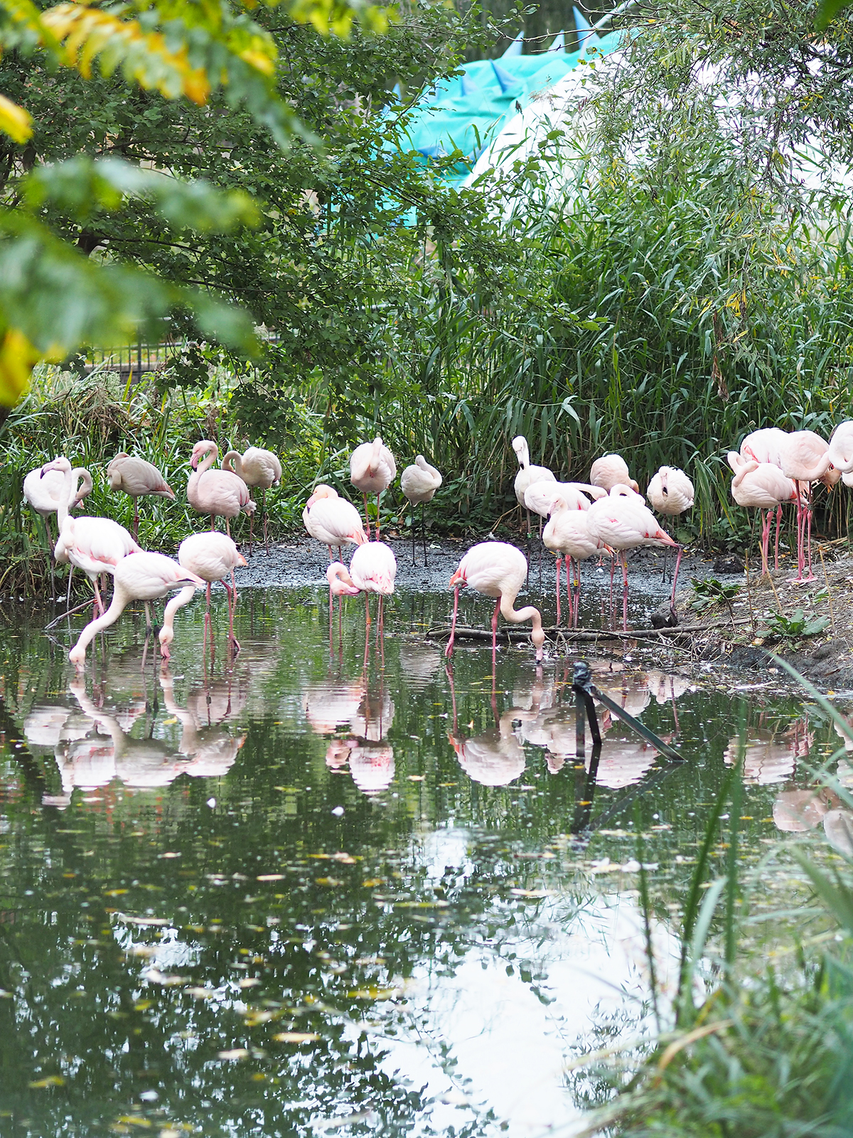 ZSL london zoo flamingos